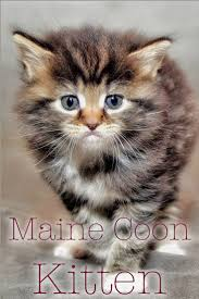 55 best maine coon cats images on pinterest maine coon cats