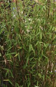 sorte de bambou bambou cultiver et tailler u2013 ooreka