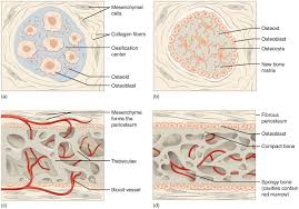 bone formation and development anatomy and physiology