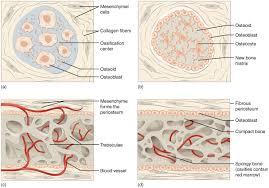 Normal Bone Anatomy And Physiology Bone Formation And Development Anatomy And Physiology