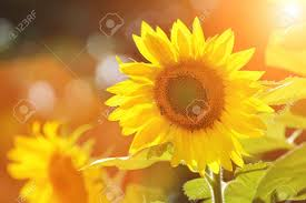 big beautiful sunflowers outdoors shallow dof stock photo