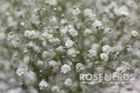 baby s breath wholesale how to grow gypsophilia baby s breath gardens flower and plants