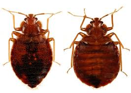 Can Bed Bugs Live In Water Bugs Often Mistaken For Bed Bugs Denise Donovan Pulse Linkedin