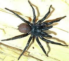 southern tree funnel web spider australian museum
