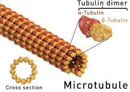 microtubule wikipedia