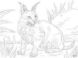 caracal cat coloring page archives mente beta most complete