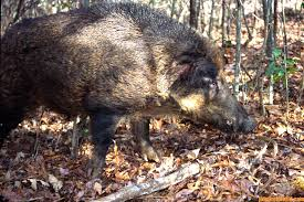 the idea to hunt wild hogs with a spear john in the wildjohn in