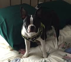 Boston Terrier Flag Winslow Pit Bulls That Killed Leashed Terrier And Injured Its
