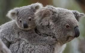 baby koala wallpaper 48 baby koala wallpapers and photos in