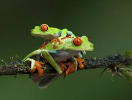 two eyed tree frogs nature s tapestry