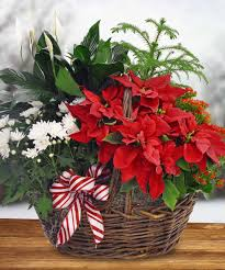 blooming poinsettia basket u2013 holiday u2013 christmas u2013 boesen florist