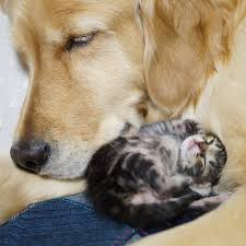 golden retriever adopts orphan kitten rejected mother