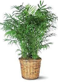 plante d駱olluante chambre plantes interieur depolluante mais il combine trois vertus des