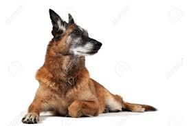 belgian sheepdog training belgian shepherd dog malinois stock photos u0026 pictures royalty