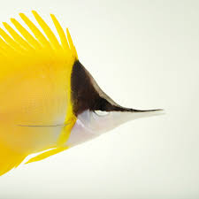 butterflyfish national geographic