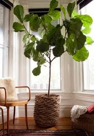 best 25 indoor fig trees ideas on fiddle fig fiddle