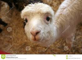 cutest llama ever stock images image 11406914