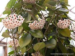 Tropical Climbing Plant - 64 best hoya plants images on pinterest hoya plants indoor