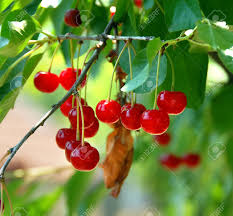 Cherry Tree Fruit - group of red cherries growing on tree closeup stock photo picture