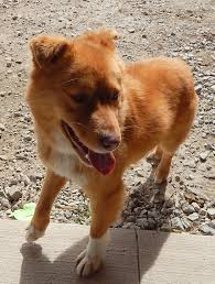 american eskimo dog rescue indiana indianapolis in golden retriever meet lily a dog for adoption