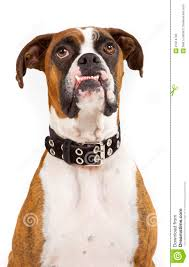 boxer dog funny funny looking boxer dog stock photo image 27814700