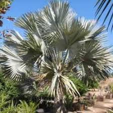 blue fan palms for the desert landscape unique trees for both