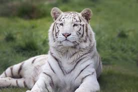 white tiger from chennai zoo gets home in udaipur one hitch