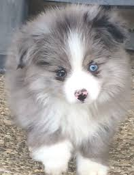 south carolina australian shepherd rescue circle k farms teacup tiny toys toys and miniature australian