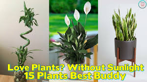 love plants but no sunlight these 15 plants can be your best