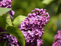 Shrub With Fragrant Purple Flowers - michigan landscape blog lovely lilacs