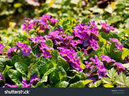 primula or primrose plants bloom pink flowers during spring