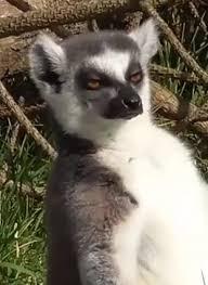Lemur Meme - stoned lemur meme generator