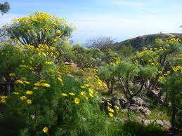 tarweed native plants cnplx los angeles county