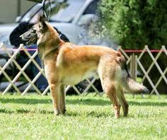 belgian sheepdog puppies for sale uk belgian sheepherd dog belgian shepherd dog malinois dogs