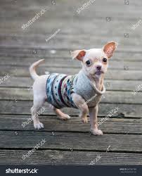 tiny colored chihuahua puppy outside stock photo 387397189