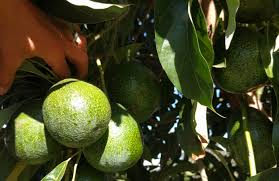 can you grow an avocado tree in a small yard space greg alder u0027s