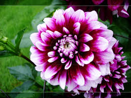google images flower magenta flowers wallpapers pc 48 magenta flowers backgrounds