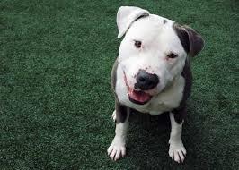 american pitbull terrier mix american pit bull terrier