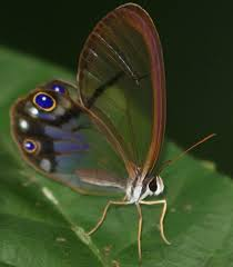 clearwing butterfly from guyana is cithaerias andromeda what s