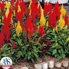 celosia flower celosia century mix harris seeds