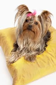 shorkie hair styles how to groom a shorkie pets