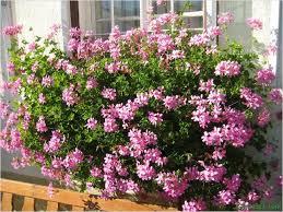geranien balkon rosa geranien hängend balkon
