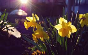 daffodils nature yellow flowers 6965298