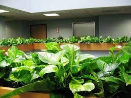 pothos plant indoor house plants air purifier plants