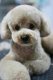 haircutsfordogs poodlemix 44 best standard poodles images on pinterest atlanta