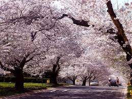 what december u0027s cherry blossoms mean for spring wtop