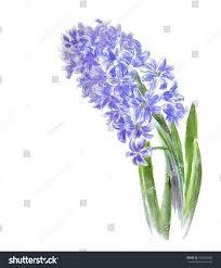 Hyacinth Flower Hyacinth Flower Drawing Watercolor Stock Illustration 100033886