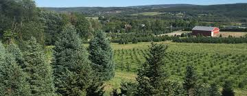 crystal spring tree farm christmas trees lehighton pa