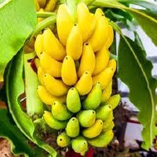 mini banana tree 100pcs rare dwarf banana tree seeds mini bonsai garden plant