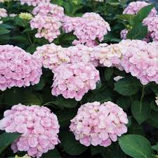 pink hydrangea special deal hydrangea beautiful flowered pink